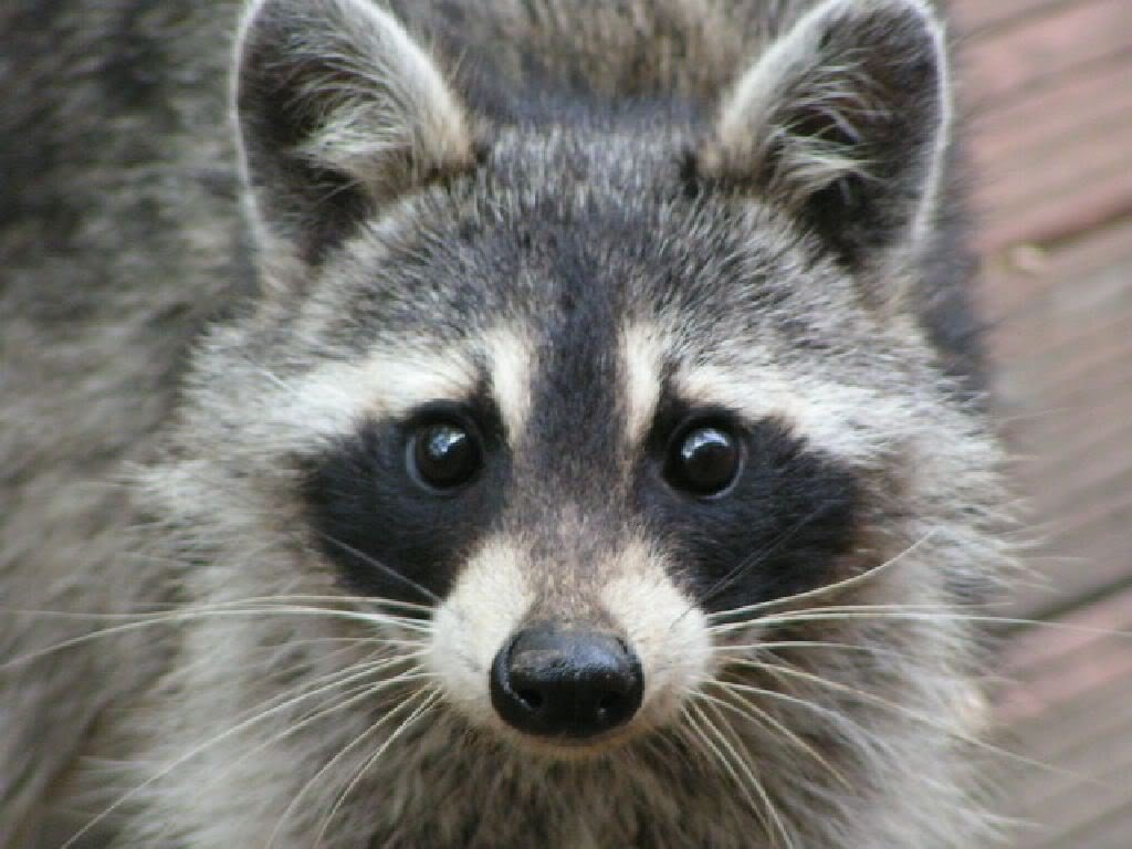 world to BAN cruel animal  Raccoon